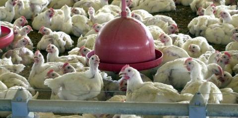 Anvisa proíbe venda de lotes de frango produzidos em Dourados