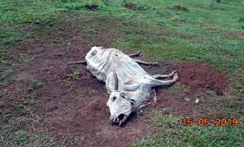 Fazendeiro de Três Lagoas abandona 270 cabeças de gado e é autuado por maus tratos