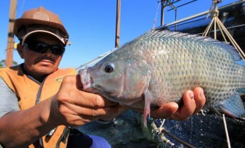 Com piscicultura brasileira em alta, MS se mantém como o maior exportador de tilápia do país