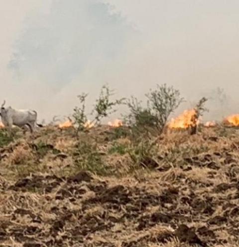 Fogo no Pantanal aprisiona gado e provoca debandada de jacarés